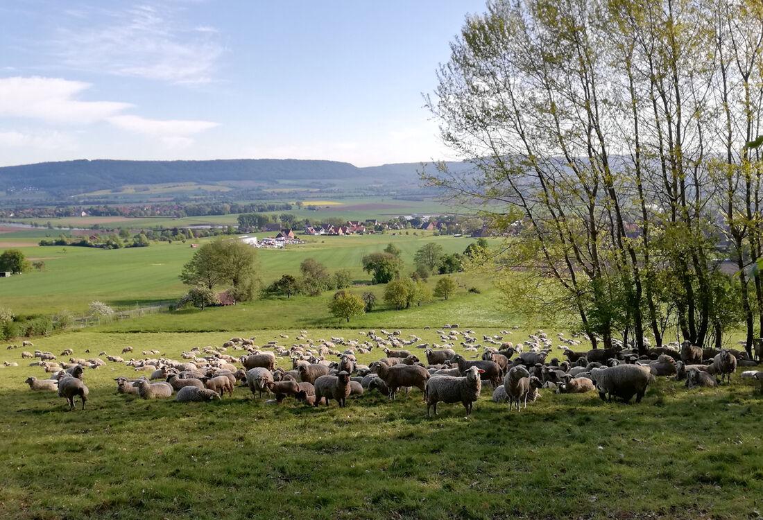 Etappe1 Schafe